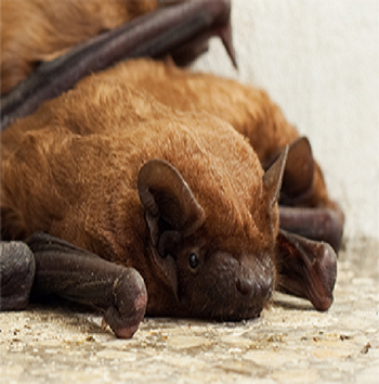 fairfax bat removal